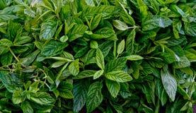 Heap of Organic Fresh Mint Stock Photography