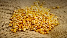 Heap of organic, raw, dried corn or maize kernels rotating on burlap. Heap of organic, raw, dried corn or maize kernels rotating burlap background stock video footage