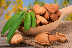Heap of peeled almonds with leaf in a wooden spoon on table blurred garden background Stock Images