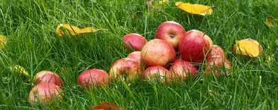Heap of red apples. In the garden stock image