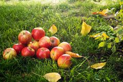 Heap of Red Apples Stock Photos