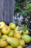 Heap of ripe sweet pears. Freshly Picked Pears.Organic pears Royalty Free Stock Photos