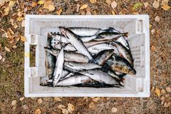 Heap of river fish perch, pike, whitefish Royalty Free Stock Image