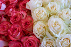 Heap of roses Stock Images