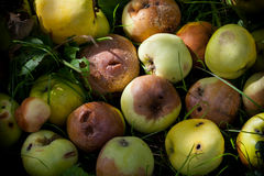 Heap of rotting and decomposing apples Royalty Free Stock Photo
