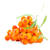 Heap of sea buckthorn berries twigs is isolated on white backgro Stock Images