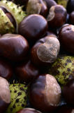 Heap of Shiny Brown Conkers Stock Photography