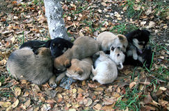 Heap of small puppies on autumn foliage Stock Photo