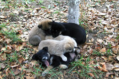 Heap of small puppies on autumn foliage Stock Photos