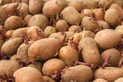 Heap of sprouting potato tubers Royalty Free Stock Images
