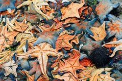 A heap of starfish Stock Images