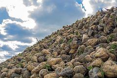 Heap of sugar beet harvested in the field at the background of the cloudy sky royalty free stock photo