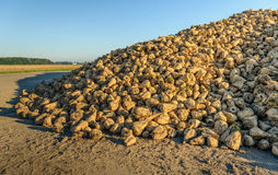 Heap sugar beets along a country road waiting for transport Royalty Free Stock Images