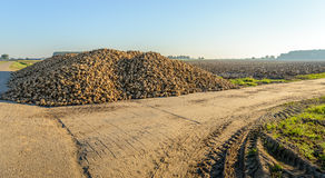 Heap sugar beets at the edge of the field Stock Images