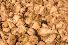 A heap sugar beets in the sun Stock Photo