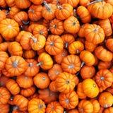 Heap of tiny pumpkins Royalty Free Stock Image