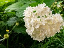 White flowers of Hydrangea blooming closeup. Heap of white flowers Hydrangea blooming among leaves. Asterids, Cornales, Hydrangeaceae royalty free stock image