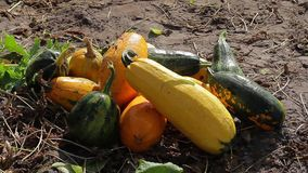 Heap of zucchini lying on the ground. stock video footage