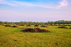 Heaps of manure on the field. Fertilizer from cow manure and straw. Heap of manure, have been taken out on the field in early spring to fertilize fields stock photo