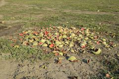 Heaps of rotting watermelons. Peel of melon. An abandoned field of watermelons and melons. Rotten watermelons. Remains of the harv. Est of melons. Rotting Royalty Free Stock Photo