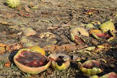 Heaps of rotting watermelons. Peel of melon. An abandoned field of watermelons and melons. Rotten watermelons. Remains of the harv. Est of melons. Rotting Royalty Free Stock Photography