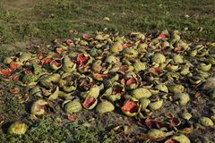 Heaps of rotting watermelons. Peel of melon. An abandoned field of watermelons and melons. Rotten watermelons. Remains of the harv. Est of melons. Rotting Royalty Free Stock Photos