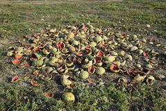 Heaps of rotting watermelons. Peel of melon. An abandoned field of watermelons and melons. Rotten watermelons. Remains of the harv. Est of melons. Rotting Stock Images