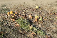 Heaps of rotting watermelons. Peel of melon. An abandoned field of watermelons and melons. Rotten watermelons. Remains of the harv. Est of melons. Rotting Stock Photos