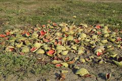 Heaps of rotting watermelons. Peel of melon. An abandoned field of watermelons and melons. Rotten watermelons. Remains of the harv. Est of melons. Rotting Royalty Free Stock Image
