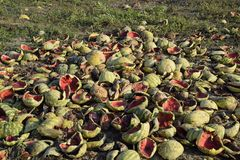 Heaps of rotting watermelons. Peel of melon. An abandoned field of watermelons and melons. Rotten watermelons. Remains of the harv. Est of melons. Rotting Royalty Free Stock Images