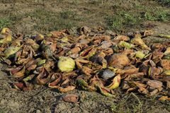Heaps of rotting watermelons. Peel of melon. An abandoned field of watermelons and melons. Rotten watermelons. Remains of the harv. Est of melons. Rotting Stock Photo
