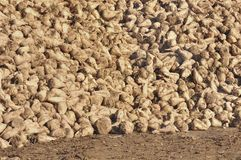 Heaps of sugar beets Royalty Free Stock Photos