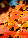 Heaps of sugar maple red and yellow leaves. In Seattle suburb during fall season stock photo