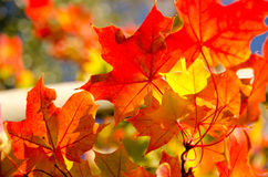 Heaps of sugar maple red and yellow leaves - 2. Heaps of sugar maple red and yellow leaves in Seattle suburb during fall season royalty free stock photography