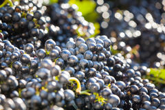Heaps of vine grapes ready to be Royalty Free Stock Photos