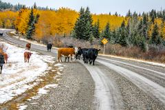 Cows on the road in late fall, Kananaskis Country, Alberta, canada. A hear of cows on a gravel road with fall colours around them Stock Images