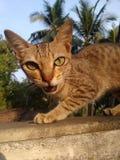 Hear me meow. Taken at sunset Stock Image