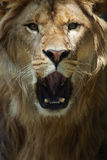 Hear Me Roar. Closeup of a male Lion roaring and staring directly at the viewer Royalty Free Stock Images