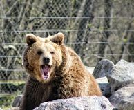 Hear me roar. Mother bear at the zoo Royalty Free Stock Image