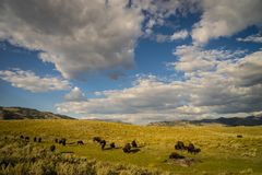 Herd of buffalo in Yellowstone National Park. Heard of American bison grazing in Yellowstone National Park Royalty Free Stock Photo