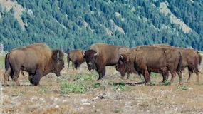 Heard of bison in Grand Teton National Park, Wyoming stock photo