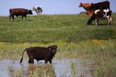 Heard of cattle Stock Photos