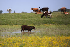 Heard of cattle Royalty Free Stock Photography
