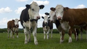Heard of cattle. A heard of cattle in a green field Royalty Free Stock Photo