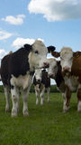 Heard of cows togeather. A heard of cattle in a green field Stock Images