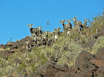 A heard of desert Bighorn Sheep on Arden Peak near Las Vegas, Nevada. Royalty Free Stock Photos