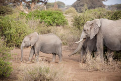 Mother and baby elephant in the wilds of Kilimanjaro. Stock Photography