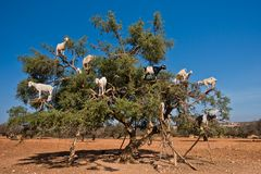 Heard of goats climbed on an argan tree on a way to Essaouira, Morocco Royalty Free Stock Photo