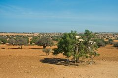 Heard of goats climbed on an argan tree on a way to Essaouira, Morocco Stock Photo