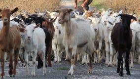 Heard of goats stock video